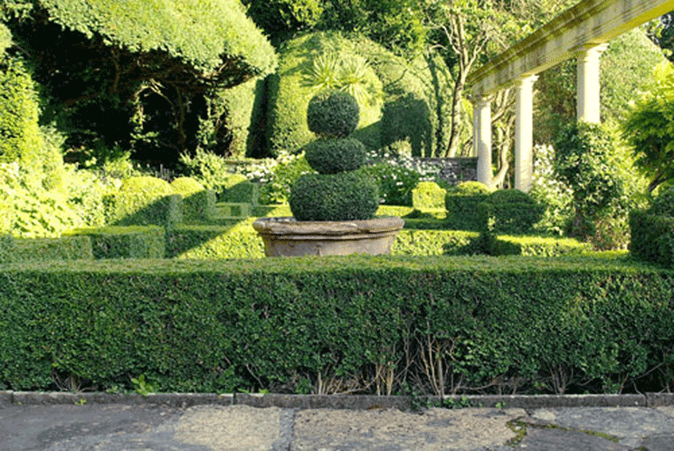 737-Buxus-sempivirens-english-box-garden