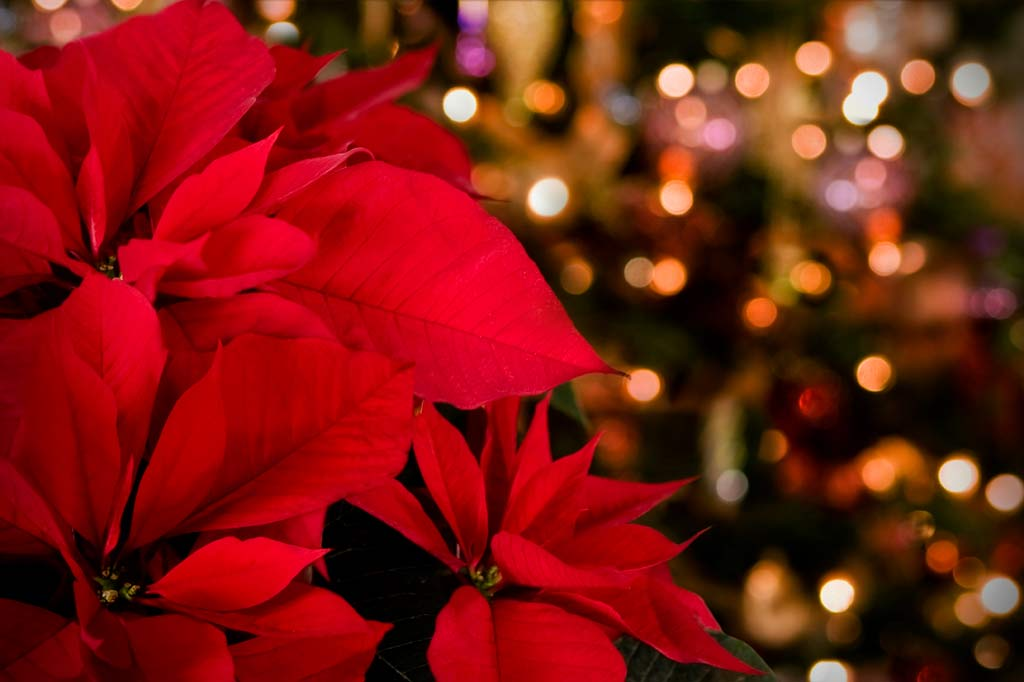 Everything About the Christmas Poinsettia - The Ibizan